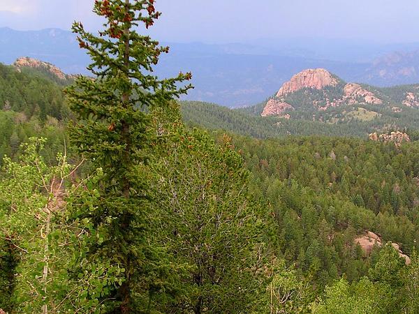 Limber Pine (Pinus Flexilis) https://www.sagebud.com/limber-pine-pinus-flexilis/