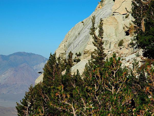 Limber Pine (Pinus Flexilis) https://www.sagebud.com/limber-pine-pinus-flexilis