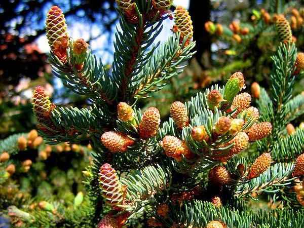 White Spruce (Picea Glauca) https://www.sagebud.com/white-spruce-picea-glauca
