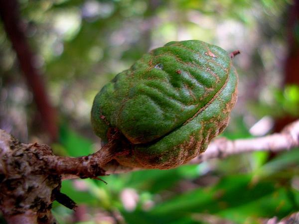 Koolau Range Cheesewood (Pittosporum Glabrum) https://www.sagebud.com/koolau-range-cheesewood-pittosporum-glabrum