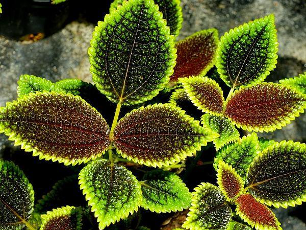 Friendship Plant (Pilea Involucrata) https://www.sagebud.com/friendship-plant-pilea-involucrata/
