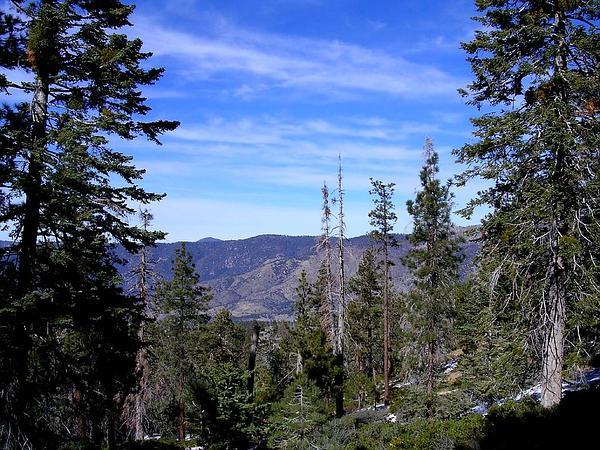 Jeffrey Pine (Pinus Jeffreyi) https://www.sagebud.com/jeffrey-pine-pinus-jeffreyi/