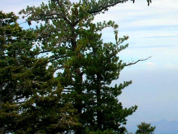 Sugar Pine (Pinus Lambertiana) https://www.sagebud.com/sugar-pine-pinus-lambertiana