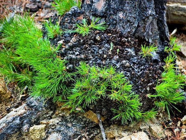 Chihuahuan Pine (Pinus Leiophylla) https://www.sagebud.com/chihuahuan-pine-pinus-leiophylla
