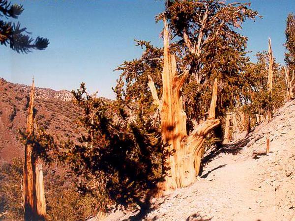Great Basin Bristlecone Pine (Pinus Longaeva) https://www.sagebud.com/great-basin-bristlecone-pine-pinus-longaeva/