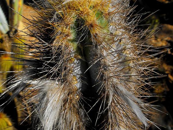Tree Cactus (Pilosocereus) https://www.sagebud.com/tree-cactus-pilosocereus