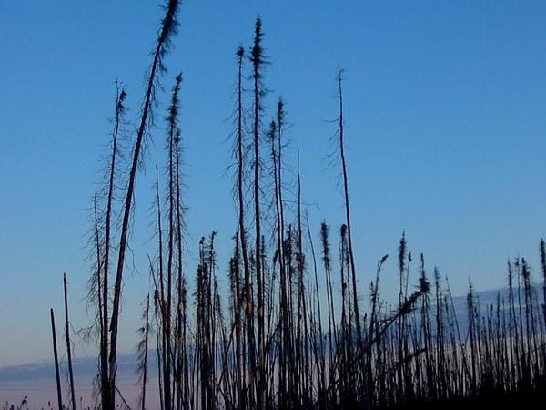 Black Spruce (Picea Mariana) https://www.sagebud.com/black-spruce-picea-mariana