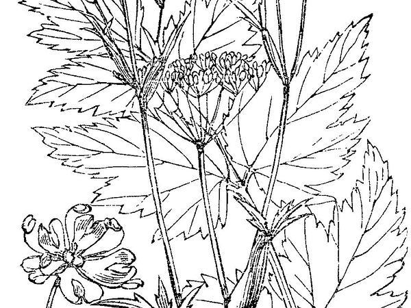Hollowstem Burnet Saxifrage (Pimpinella Major) https://www.sagebud.com/hollowstem-burnet-saxifrage-pimpinella-major