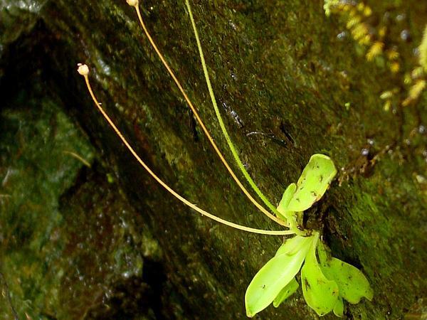 California Butterwort (Pinguicula Macroceras) https://www.sagebud.com/california-butterwort-pinguicula-macroceras