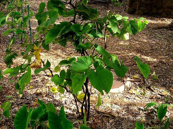 Kava (Piper Methysticum) https://www.sagebud.com/kava-piper-methysticum