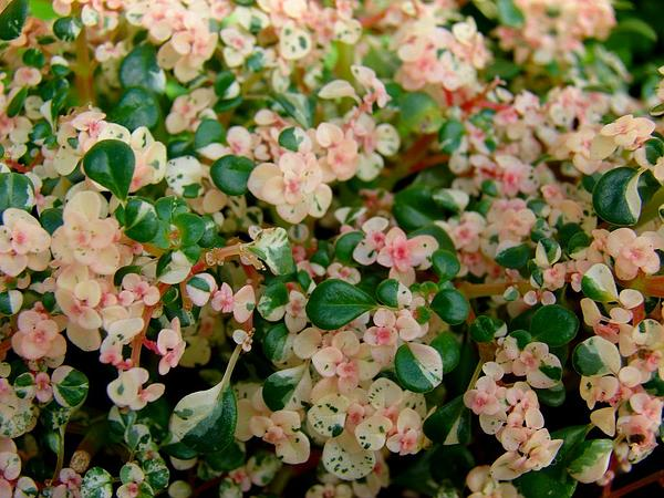 Rockweed (Pilea Microphylla) https://www.sagebud.com/rockweed-pilea-microphylla