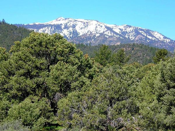 Singleleaf Pinyon (Pinus Monophylla) https://www.sagebud.com/singleleaf-pinyon-pinus-monophylla