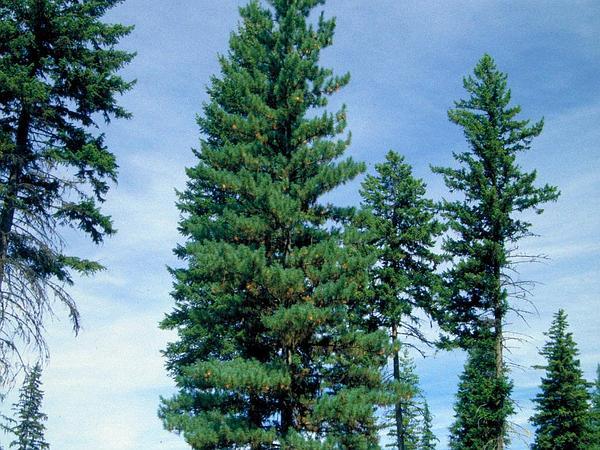 Western White Pine (Pinus Monticola) https://www.sagebud.com/western-white-pine-pinus-monticola/