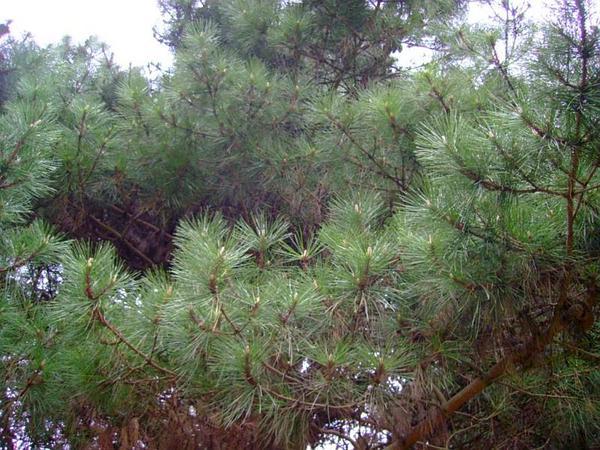 Bishop Pine (Pinus Muricata) https://www.sagebud.com/bishop-pine-pinus-muricata