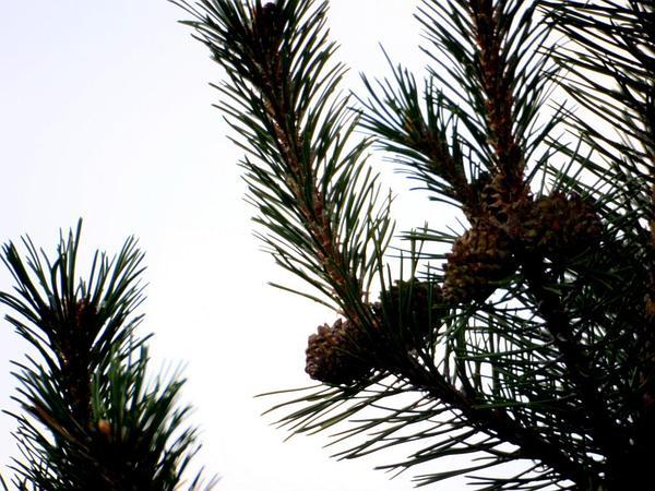 Mugo Pine (Pinus Mugo) https://www.sagebud.com/mugo-pine-pinus-mugo