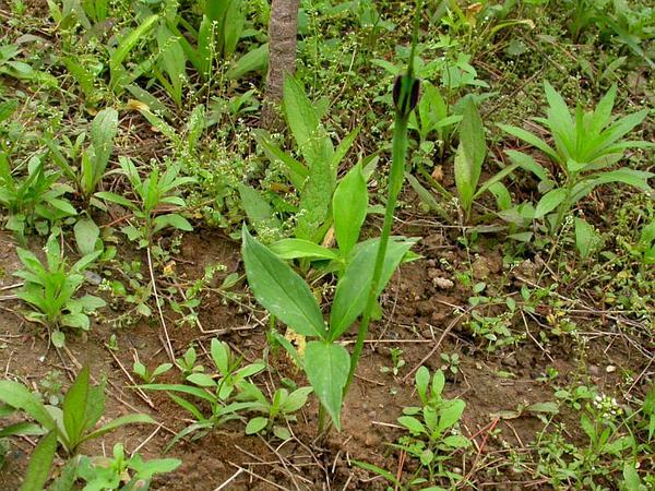 Pinellia (Pinellia) https://www.sagebud.com/pinellia-pinellia