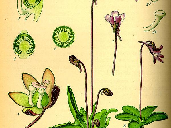 Butterwort (Pinguicula) https://www.sagebud.com/butterwort-pinguicula/