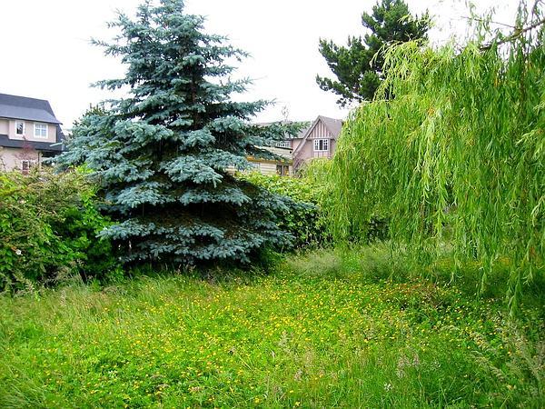 Austrian Pine (Pinus Nigra) https://www.sagebud.com/austrian-pine-pinus-nigra