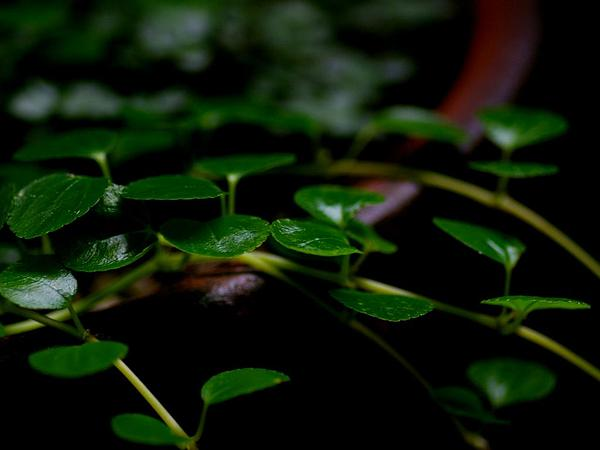 Creeping Charlie (Pilea Nummulariifolia) https://www.sagebud.com/creeping-charlie-pilea-nummulariifolia