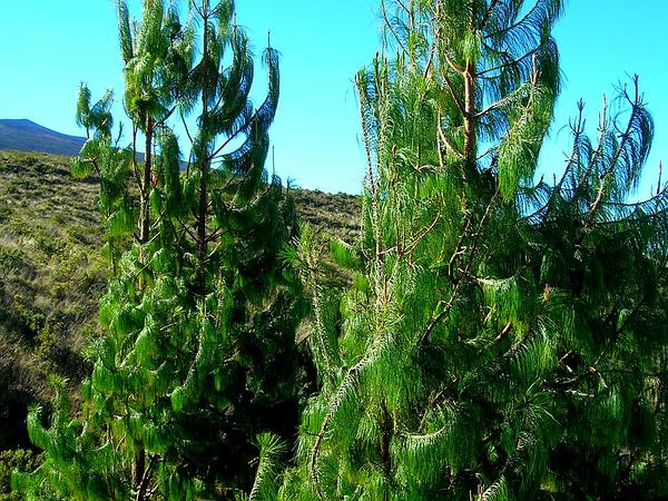 Mexican Weeping Pine (Pinus Patula) https://www.sagebud.com/mexican-weeping-pine-pinus-patula