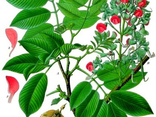 Florida Fishpoison Tree (Piscidia Piscipula) https://www.sagebud.com/florida-fishpoison-tree-piscidia-piscipula