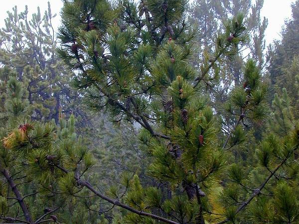 Maritime Pine (Pinus Pinaster) https://www.sagebud.com/maritime-pine-pinus-pinaster