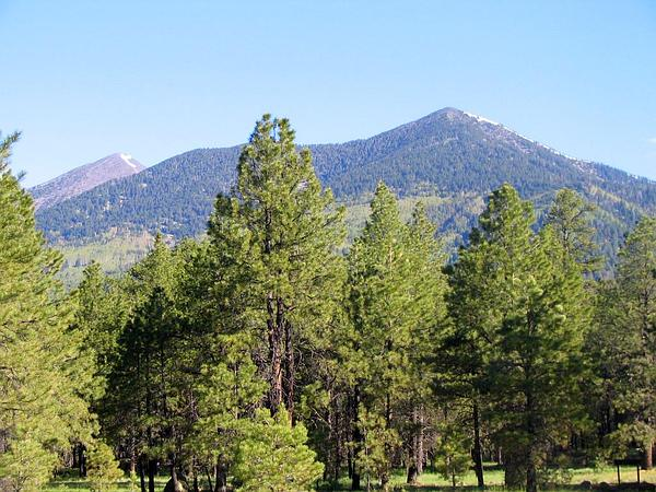 Ponderosa Pine (Pinus Ponderosa) https://www.sagebud.com/ponderosa-pine-pinus-ponderosa