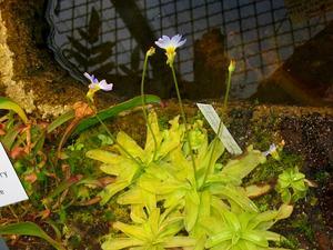 Southern Butterwort