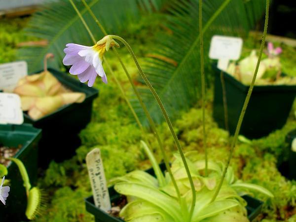 Southern Butterwort (Pinguicula Primuliflora) https://www.sagebud.com/southern-butterwort-pinguicula-primuliflora