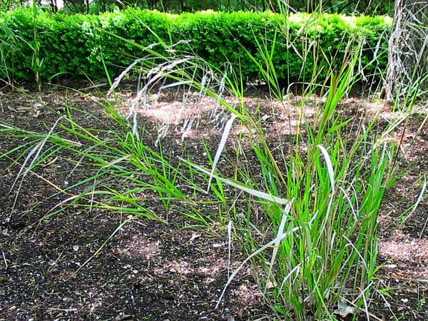 Ricegrass (Piptatherum) https://www.sagebud.com/ricegrass-piptatherum