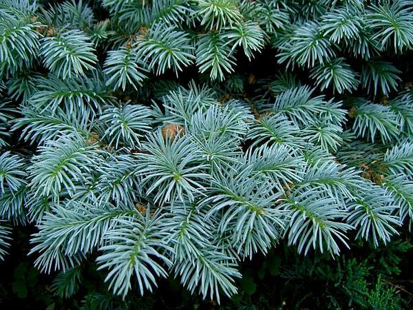 Blue Spruce (Picea Pungens) https://www.sagebud.com/blue-spruce-picea-pungens