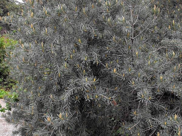 Parry Pinyon (Pinus Quadrifolia) https://www.sagebud.com/parry-pinyon-pinus-quadrifolia