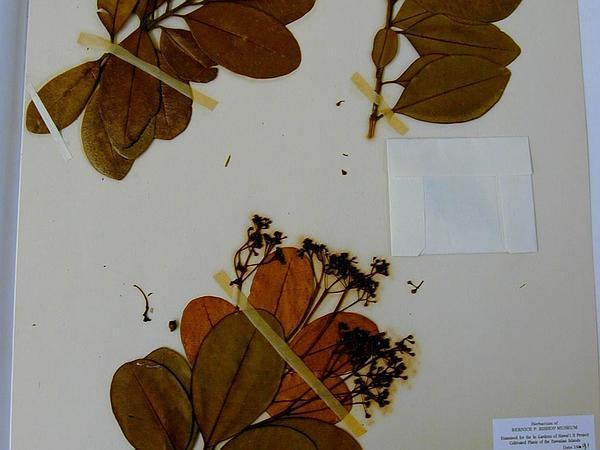 Bayrumtree (Pimenta Racemosa) https://www.sagebud.com/bayrumtree-pimenta-racemosa