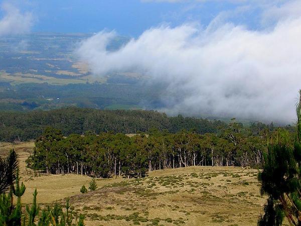 Monterey Pine (Pinus Radiata) https://www.sagebud.com/monterey-pine-pinus-radiata