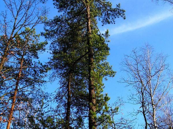 Pitch Pine (Pinus Rigida) https://www.sagebud.com/pitch-pine-pinus-rigida