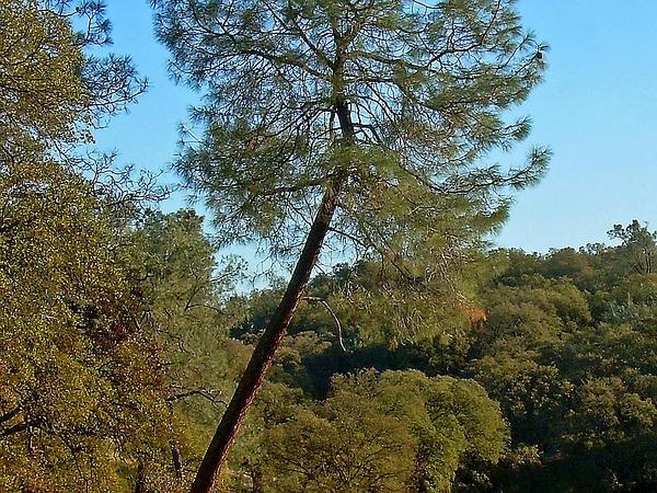 California Foothill Pine (Pinus Sabiniana) https://www.sagebud.com/california-foothill-pine-pinus-sabiniana