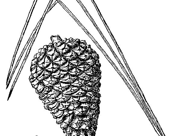Pond Pine (Pinus Serotina) https://www.sagebud.com/pond-pine-pinus-serotina/