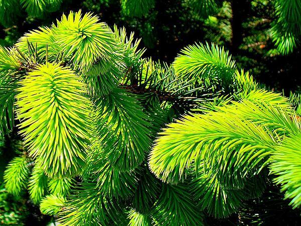 Sitka Spruce (Picea Sitchensis) https://www.sagebud.com/sitka-spruce-picea-sitchensis