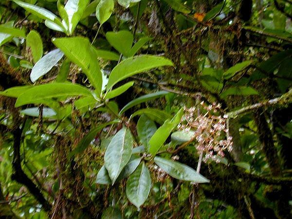 Catchbirdtree (Pisonia) https://www.sagebud.com/catchbirdtree-pisonia
