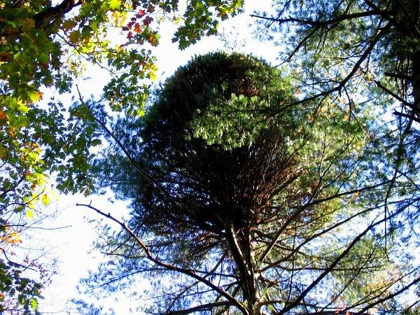 Eastern White Pine (Pinus Strobus) https://www.sagebud.com/eastern-white-pine-pinus-strobus