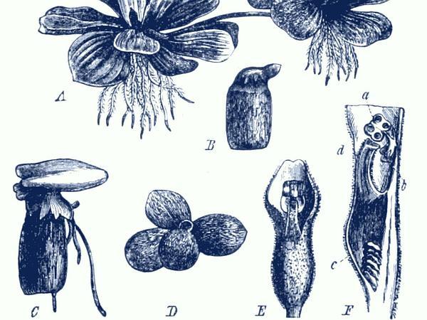 Water Lettuce (Pistia Stratiotes) https://www.sagebud.com/water-lettuce-pistia-stratiotes/