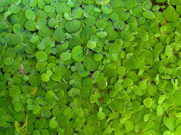 Water Lettuce (Pistia Stratiotes) https://www.sagebud.com/water-lettuce-pistia-stratiotes