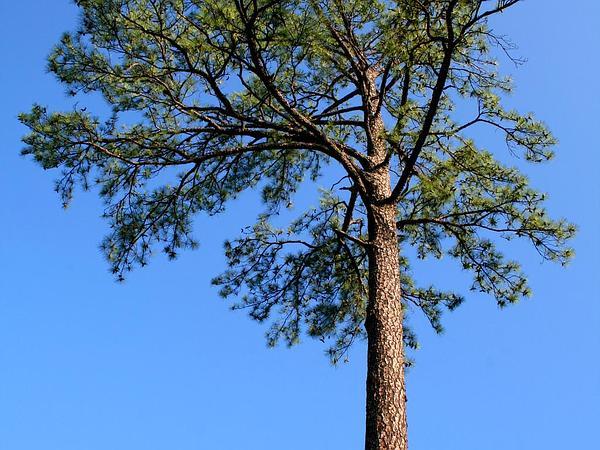 Loblolly Pine (Pinus Taeda) https://www.sagebud.com/loblolly-pine-pinus-taeda/