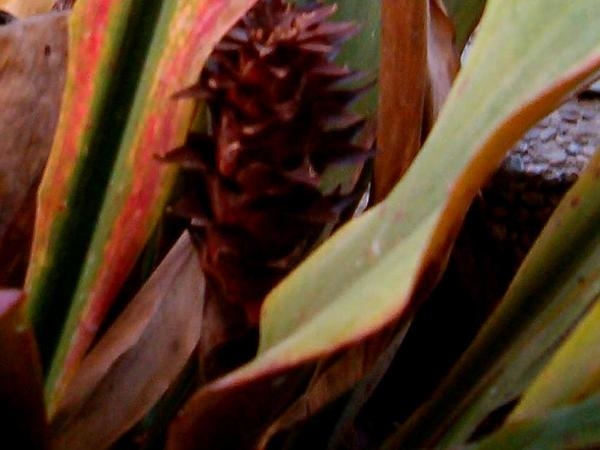 Pitcairnia (Pitcairnia) https://www.sagebud.com/pitcairnia-pitcairnia
