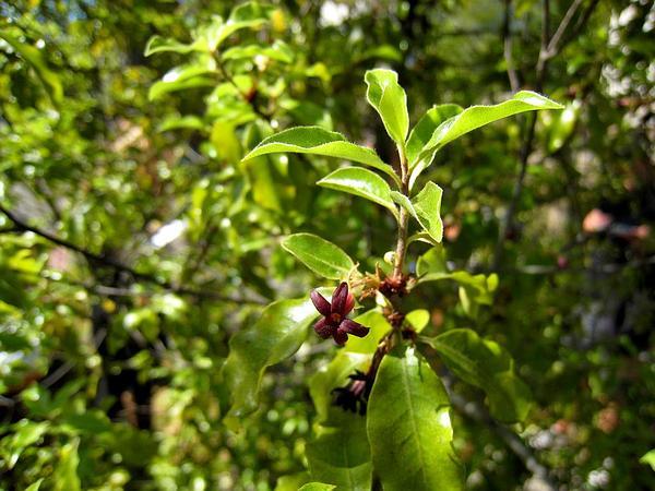 Tawhiwhi (Pittosporum Tenuifolium) https://www.sagebud.com/tawhiwhi-pittosporum-tenuifolium