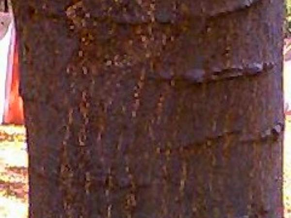 Blackbead (Pithecellobium) https://www.sagebud.com/blackbead-pithecellobium