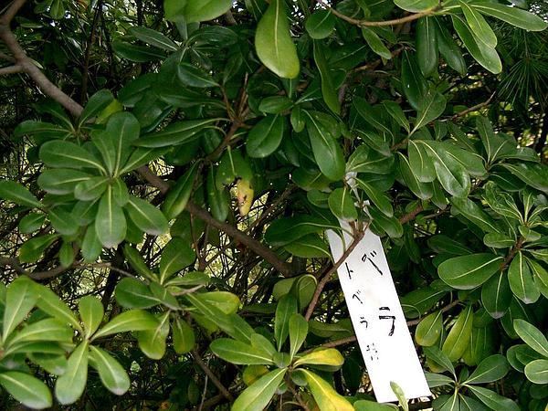 Japanese Cheesewood (Pittosporum Tobira) https://www.sagebud.com/japanese-cheesewood-pittosporum-tobira