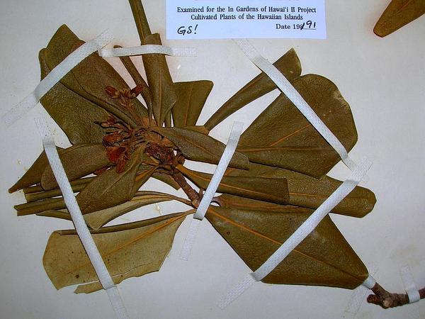 Japanese Cheesewood (Pittosporum Tobira) https://www.sagebud.com/japanese-cheesewood-pittosporum-tobira/