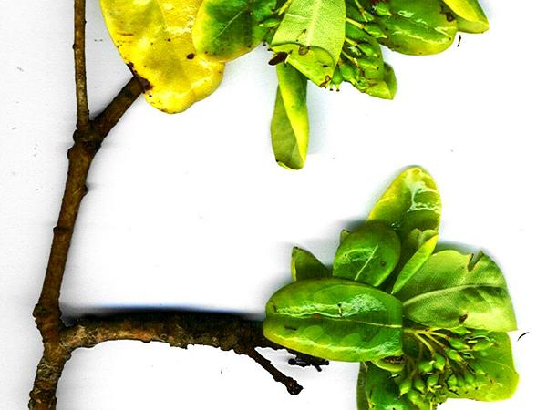 Cheesewood (Pittosporum) https://www.sagebud.com/cheesewood-pittosporum