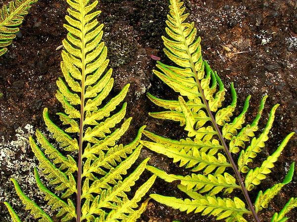 Goldback Fern (Pityrogramma) https://www.sagebud.com/goldback-fern-pityrogramma